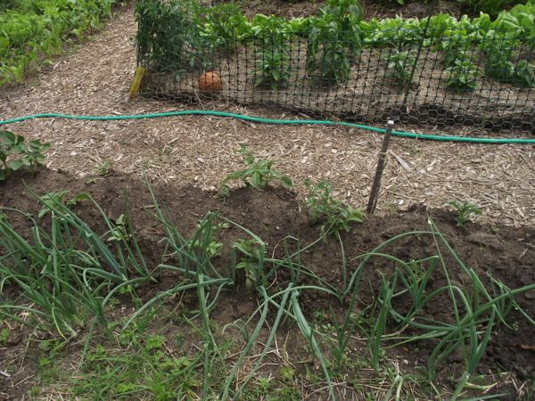 The potatoes and onions are still going strong.